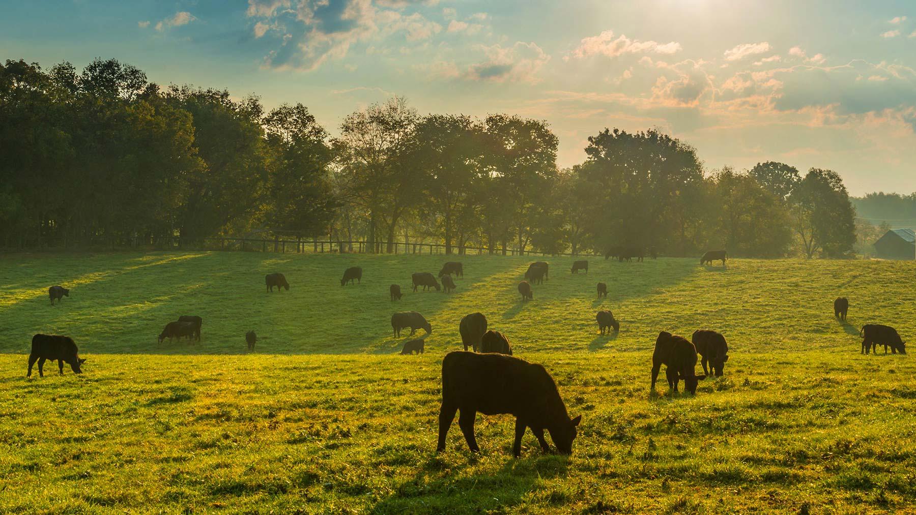 Storia e bontà della razza bovina piemontese